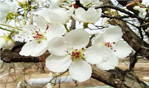 Điện Biên 'Rực rỡ mùa hoa ban'